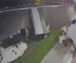 【事故】牛31頭を運ぶ大型トラックが横転。牛が飛び出てくる衝撃事故映像