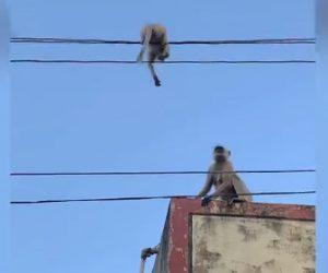 【動物】電線の上で動けなくなった子猿を母猿が助ける衝撃映像