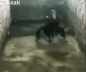 【動物】ひな鳥を守る為巨大なキングコブラと必死に戦う母鳥が凄い