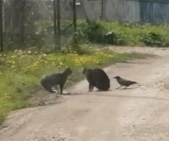 【動物】喧嘩する2匹の猫にカラスも参加する衝撃映像