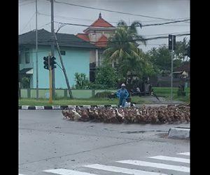 【動物】鴨の大群が交差点を渡る衝撃映像