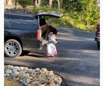 【動物】野生のクマが車内に侵入しビスケットを盗んでいく衝撃映像