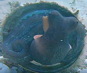 【動物】海に捨てられたアルミ缶を住みかにするタコ