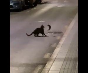 【動物】ネコVSネズミ ネズミがネコに飛びかかる衝撃映像