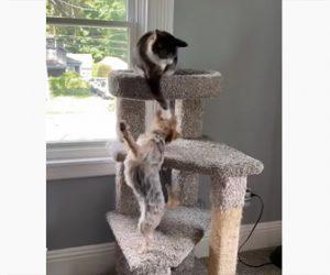 【動物】キャットタワーの上からネコが吠える犬に強烈ネコパンチ