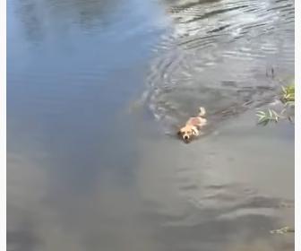 【閲覧注意動画】飼い犬がワニがいる池に飛び込み、飼い主が必死に呼ぶが…