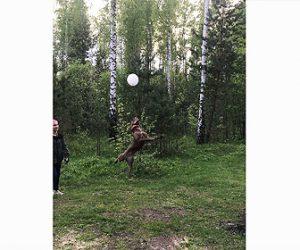 【動物】驚異のジャンプ力!風船を落とさないようにジャンプをして何度もつく犬が凄い。