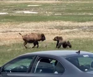 【動物】クマ VS アメリカバイソン 野生動物の激しい戦い