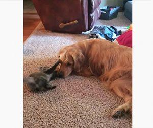 【動物】ゴールデンレトリーバーと子猫が仲良く遊ぶ