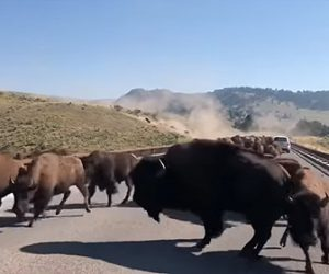 【動物】野生のアメリカバイソンの群れが現れ車道を埋め尽くす衝撃映像
