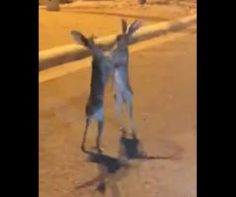 【動物】2羽のウサギが車道で激しい戦い。両足で立ち殴りまくる衝撃映像