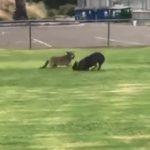 【動物】コヨーテVSピットブル フェンスを乗り越えコヨーテが公園に侵入しピットブルと遭遇
