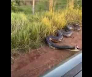 【動物】道端に巨大アナコンダが現れ、横を通る車に飛びかかってくる衝撃映像