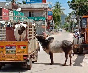 【衝撃】トラックに積まれ売られていく牛を仲間の牛が走って必死に追いかける