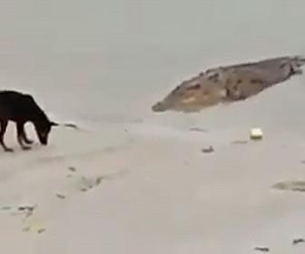 【動物】巨大なワニが水辺にいる犬にゆっくり近づき襲いかかる衝撃映像