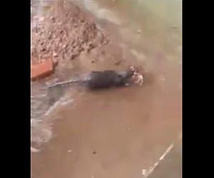 【動物】水没する巣から母ネズミが赤ちゃんネズミを必死に助け出す衝撃映像