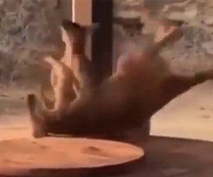 【喧嘩】カンガルー2匹の喧嘩が激しすぎる衝撃映像