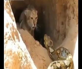 【動物】ヤマネコVS巨大ニシキヘビ 子猫を守る為、母ヤマネコはニシキヘビと必死に戦う衝撃映像