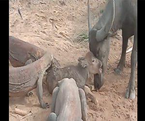 【衝撃】コモドドラゴンが水牛の赤ちゃんの襲いかかる衝撃映像