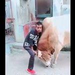 【衝撃】男性が巨大な牛の角を持って押さえ込むが…
