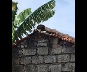 【衝撃】母ネズミが赤ちゃんネズミを助けるためヘビと必死に戦う衝撃映像