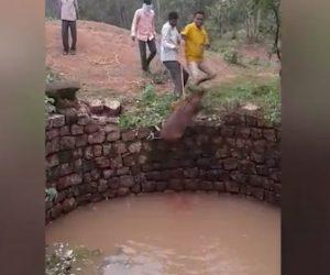 【衝撃】井戸に落ちたイノシシを村人が救出するが助け出した瞬間襲いかかってくる衝撃映像