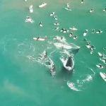 【衝撃】ビーチ近くに親子のクジラが現れサーファー達がクジラに近づきすぎ…