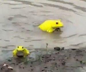 【衝撃】インドで鮮やかな黄色いカエルが大量に現れる衝撃映像