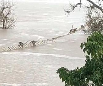 【衝撃】洪水で木に取り残されたサルの群れをロープはしごを使って助け出す衝撃映像