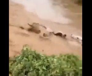 【衝撃】洪水で大量の牛が濁流に流されてしまう衝撃映像