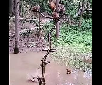 【動物】サルたちが木に登り水溜まりに飛び込んで遊ぶ衝撃映像