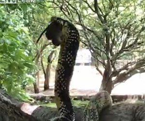 【衝撃】巨大なヘビが母ネズミと子ネズミを丸呑みにしてしまう衝撃映像