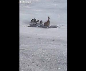 【動物】カルガモの親子が引っ越し中、母ガモが側溝の網の上を歩いてしまい…