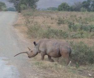 【動物】南アフリカで角が異常に長いサイが発見される
