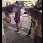【動物】飼い主に抱かれ吠えまくる2頭の犬を飼い主が同時に下ろすと…