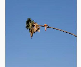 【衝撃】男性が30mのヤシの木に登り切り落すが、ものすごい勢いで木が揺れ出す衝撃映像