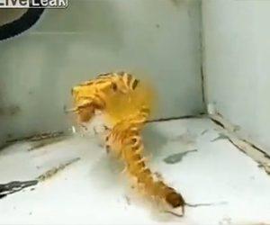 【動物】水槽で泳ぐペットのフグが何でも食べてしまう衝撃映像