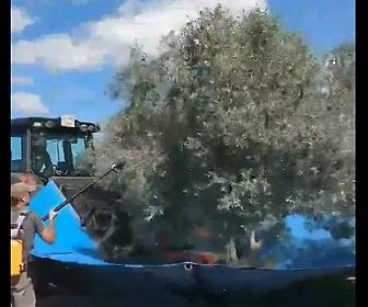 【衝撃】オリーブの木から実を収穫する方法が激しすぎる