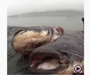 【巨大生物】男性が捕まえた2匹のナマズが巨大すぎる衝撃映像