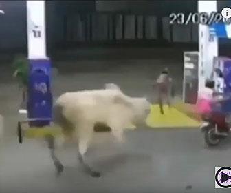 【動物】牛に追われる2人乗りバイクがガソリンスタンドに逃げ込み…