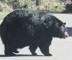 【動物】太りすぎのクマが道を横切っていく衝撃映像