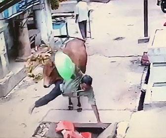 【動物】食べ物を抱えて歩く男性が後ろから牛に突き飛ばされてしまう衝撃映像