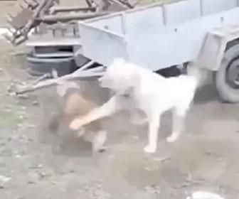 【動物】犬とニワトリの激しい戦い。何度も立ち向かっていくニワトリが凄い