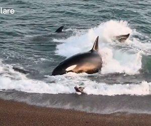 【動物】波打ち際を泳ぐアザラシの赤ちゃんにシャチが突っ込んでくる衝撃映像