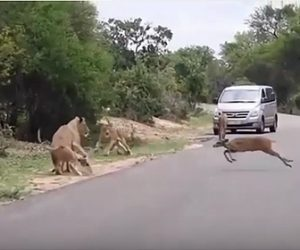 【動物】車道を歩くライオンの群れの中を猛スピードのシカが通り過ぎようとするが…