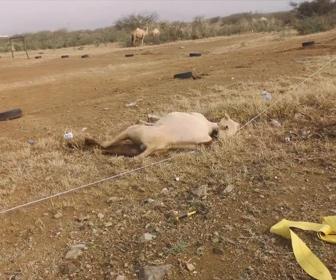 【動物】電線に触れ動けないラクダを助け出す衝撃映像