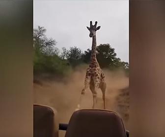 【動物】観光客が乗る車を巨大なキリンが猛スピードで追いかけてくる衝撃映像