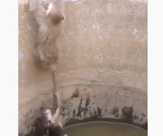 【動物】井戸に落ちた子ザルを他のサルがシッポを伸ばし助け出す衝撃映像