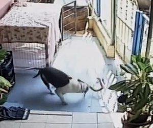 【動物】コブラVSピットブル 家族がいる犬小屋に迫ってきたコブラにピットブルが襲いかかるが…
