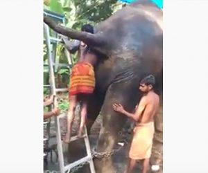 【衝撃】男性が象の肛門に手を突っ込み像の便秘を治す